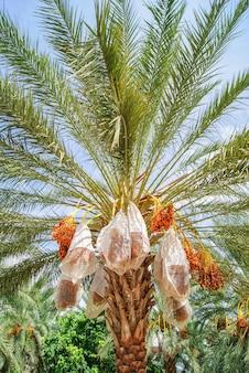 Финики созревают на пальме оазиса