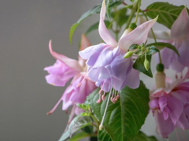 Цветущая фуксия, крупные сиреневые цветы на сером фоне.