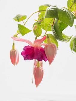 Цветущая розовая фуксия, крупные цветы на светлом фоне