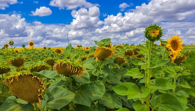 Поле подсолнухов. бесконечные просторы сельскохозяйственных земель