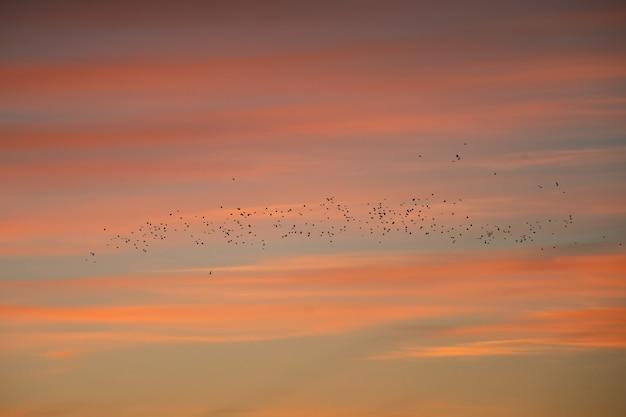 Большое стадо птиц на фоне красного вечернего неба.