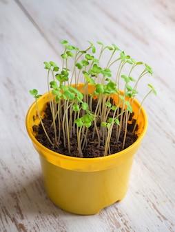 Побеги молодых растений весной. выращивание зерновых культур.