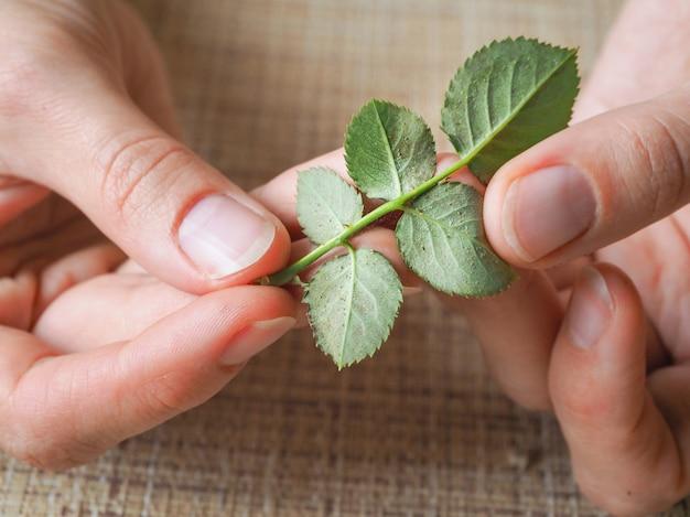 Паутинные клещи на розах. болезни растений.
