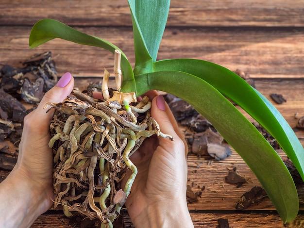 移植植物。ランを移植します。ホームガーデニング、ランの繁殖。