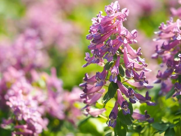 早春の森の紫色のキケマンの花。春の花の背景。春の太陽の最初のサクラソウ。