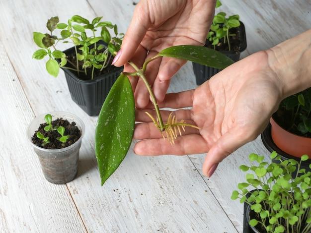Укорененная черенка готова к посадке. разведение комнатных растений.