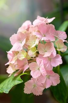 ピンクのアジサイ。成長する花