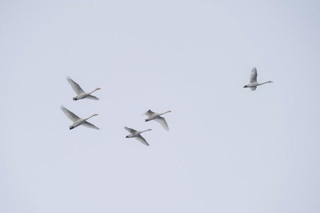 どんよりした秋の空を背景に飛ぶ白鳥の群れ