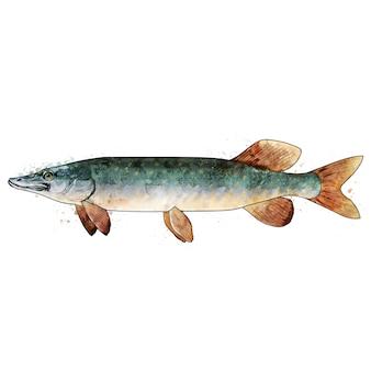 パイク、魚の水彩の隔離された図。