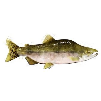ピンクサーモンの男性、魚の水彩の隔離された図。