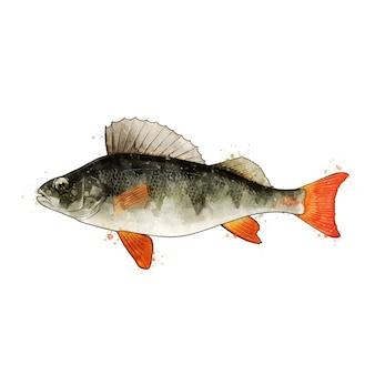 スズキ、魚の水彩の隔離された図。