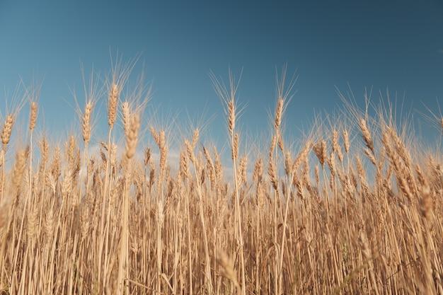 黄金の麦畑