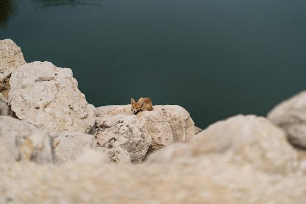 Маленькая лиса загорая на белом камне около воды в природе.