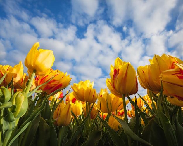 Красивые желтые тюльпаны против голубого неба, красочные цветы.