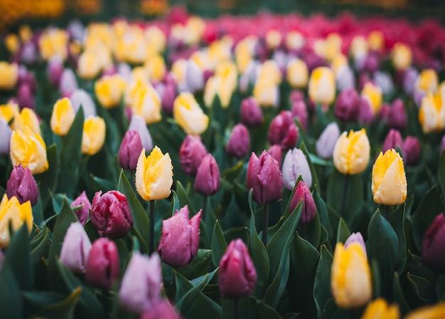 Тюльпаны. красивые разноцветные цветы весной парк, цветочный фон. марочный