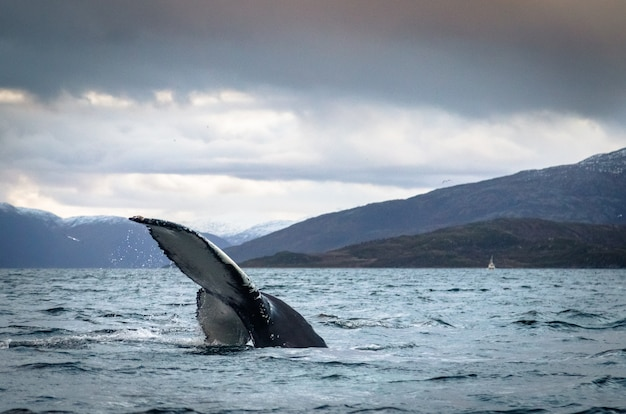 トロムソノルウェーの海でザトウクジラ尾フルーク