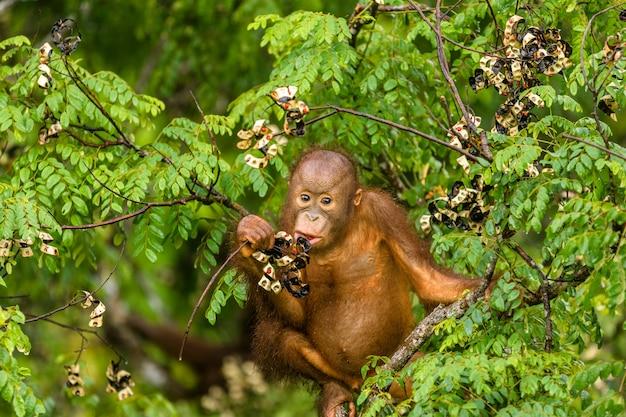 マレーシアのボルネオの森で赤い果実を食べる野生の赤ちゃんオランウータン