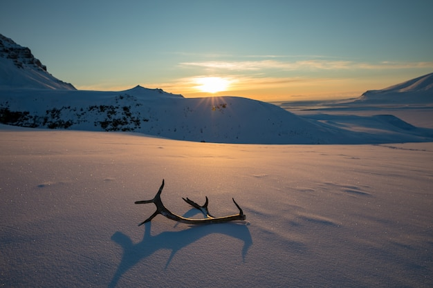 雪の中で横になっているトナカイの角と黄金の夕日