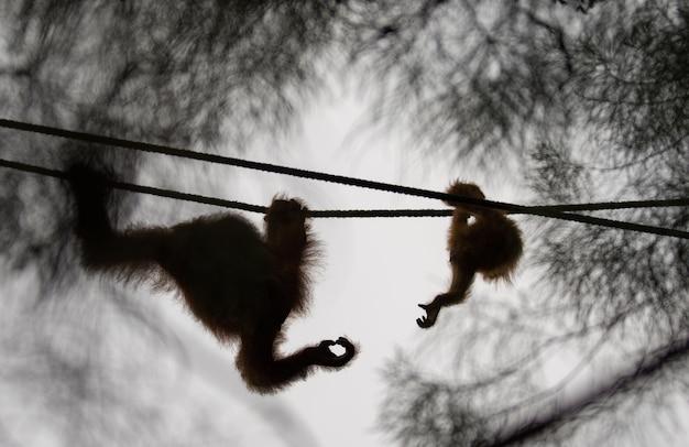 オランウータンの母親と赤ちゃんが手を差し伸べる