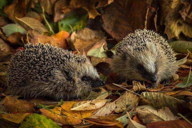 Два молодых ежика в осенних листьях