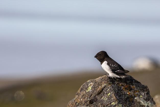 リトルオーク、アッレアレ、スピッツベルゲン、スバールバル諸島、ノルウェーの岩の上に座って