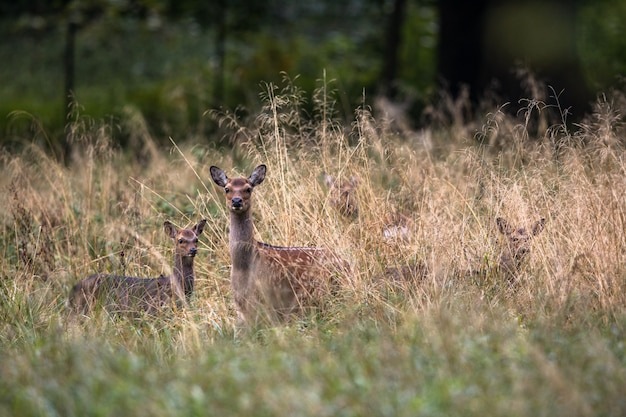 デンマーク、ヨーロッパの森で子鹿と雌ニホンジカ