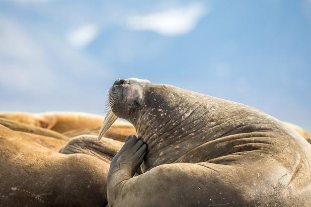 スバールバル諸島プリンス・カールズ・フォーランドのセイウチのグループで頭をかくセイウチ