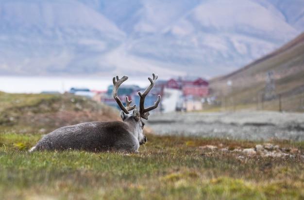 北極圏、スバールバル諸島ロングイェールビーンの前で夜休んでいるトナカイ