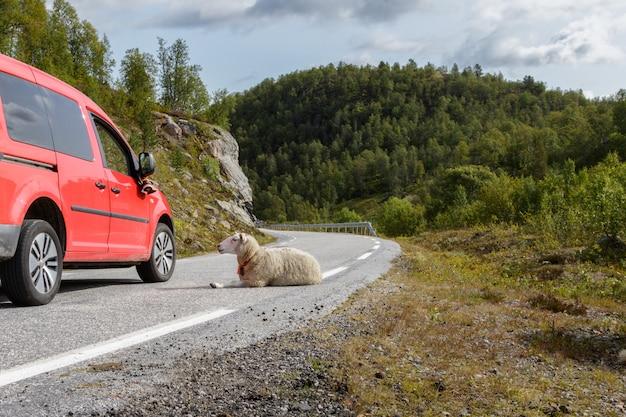 Красный автомобиль проходя овец отдыхая в дороге в норвегии. сетесдаль
