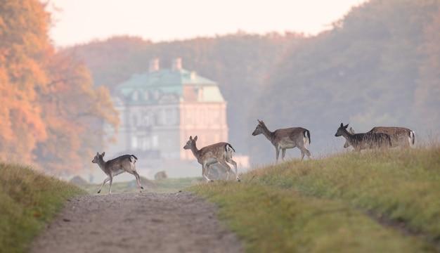 ダマジカ、ダマダマ、女性と子鹿がデンマークのディレハベの未舗装の道路を横断します。