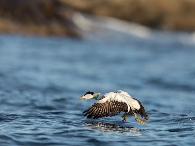 冬の青い海から離陸する一般的なアイダー男性