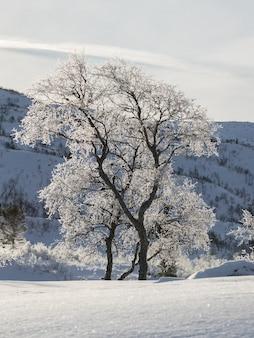 バックライト付きの雪に覆われた冬の山の風景の中のシラカバの木、シラカンバ。