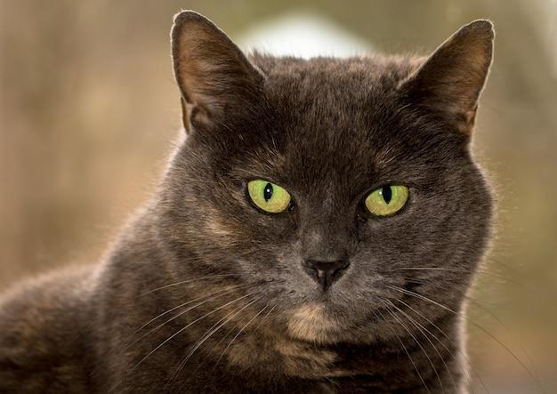 Серая кошка с зелеными глазами смотрит