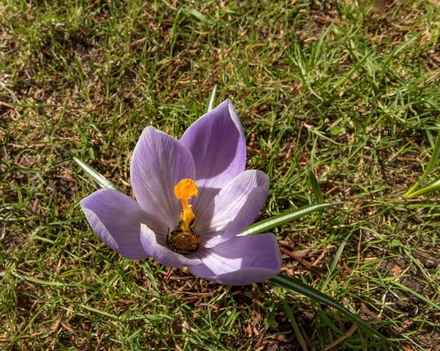 花粉で覆われたクロッカスの花の初期の営巣マルハナバチの尻
