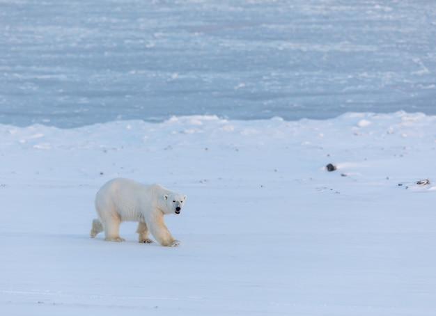 Белый медведь гуляет по снегу рядом с замерзшим биллефьорденом на шпицбергене