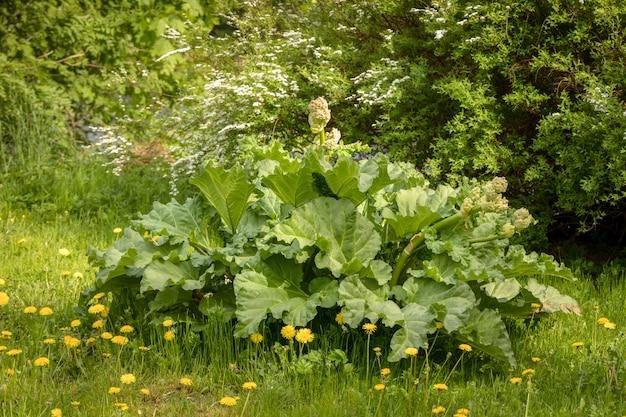 Большое старое растение ревеня расцветает в саду