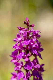 初期の紫色の蘭-オーキスマスコラ