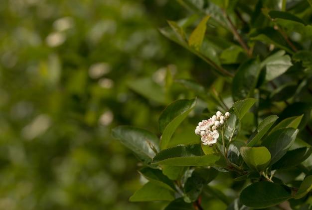 Цветущая черная черноплодная рябина, цветок аронии меланокарпа и зеленые листья