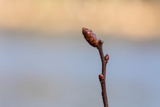 沼地マートル、ミリカ強風、つぼみの小枝。ビールの醸造および薬用植物として使用されます。