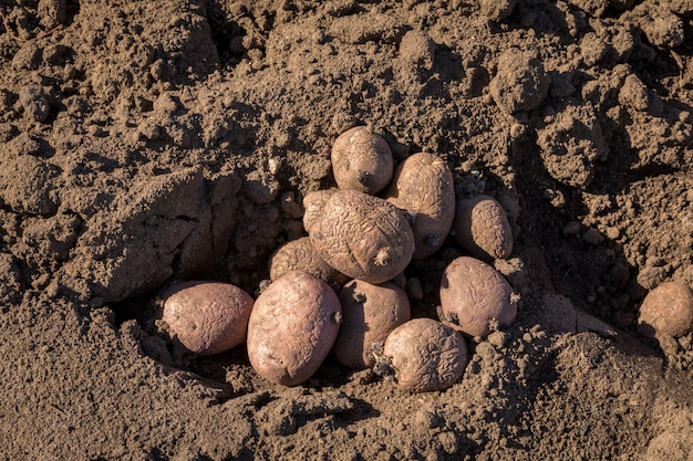 Семенной картофель в почве на открытом воздухе