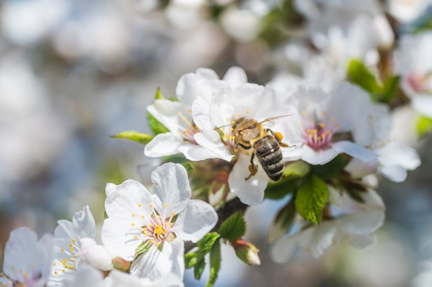 Красиво цветущая ветка вишневого дерева