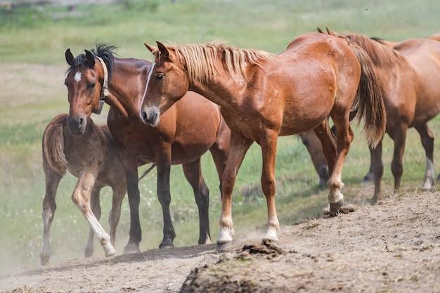 ほこりで育った長く暗いたてがみを持つ赤い馬