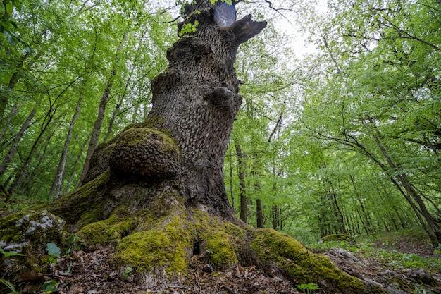 古い巨大なツリーの下を見上げてください。