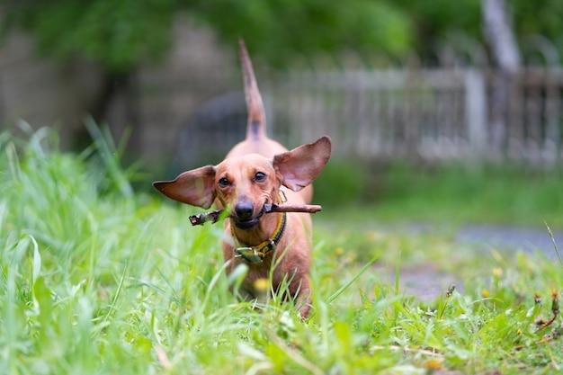 ダックスフントは緑の芝生に沿って走る