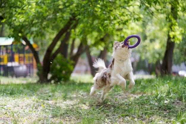 Пограничный колли собака ловит летающий диск