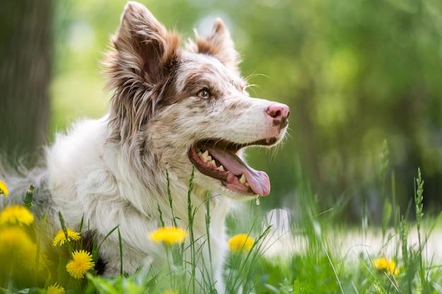 タンポポに座っているボーダーコリーの子犬