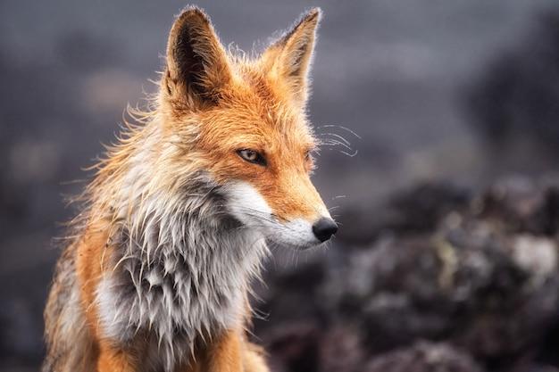 Фотография крупного плана дикого красного лиса