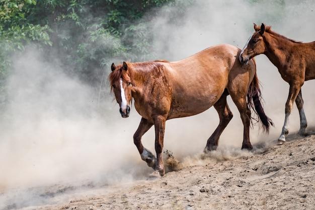 日没のほこりで実行されているさまざまな品種の美しい馬