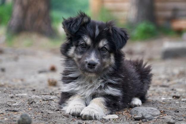 草の上に座ってかわいいシベリアンハスキー子犬