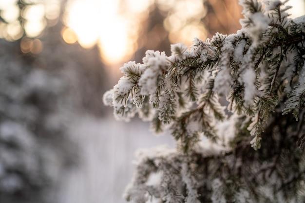 冬の冷ややかな枝。霜と雪で美しい木の枝。